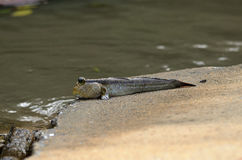 Mudskipper fish Royalty Free Stock Photography