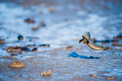 Mudskipper Fish. A mudskipper fish jumping on muddy beach during low tide Royalty Free Stock Image