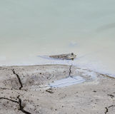 Mudskipper i en mangroveskog Fotografering för Bildbyråer