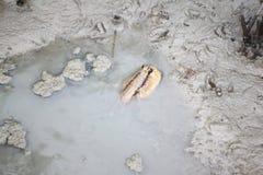 Mudskipper i mangroveskog Royaltyfria Bilder