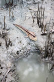 Mudskipper i mangroveskog Royaltyfria Foton