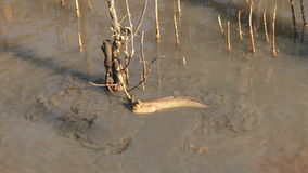 Mudskipper in mangrove forest stock video footage