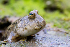 Mudskipper on Mud Flat Royalty Free Stock Photos