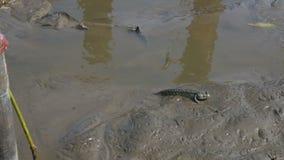 Mudskipper ou peixes anfíbios no pântano no litoral Bangpu vídeos de arquivo