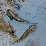 Mudskipper ou poissons amphibies photo stock
