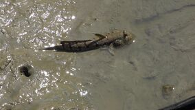 Mudskipper Periophthalmus on Wetland. Shot with a Sony a6300 fps29,97 4k stock video