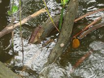 Mudskipper que descansa sobre la raíz del árbol del mangle Fotografía de archivo libre de regalías