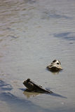Mudskipper. This mudskipper relaxing and sunbathe Royalty Free Stock Photo