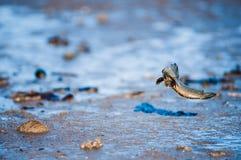 Mudskipper ryba Obraz Royalty Free