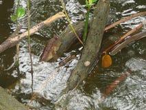 Mudskipper se reposant sur la racine d'arbre de palétuvier Photographie stock libre de droits