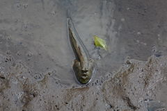 A Mudskipper Soaking In The Wetlands Royalty Free Stock Image