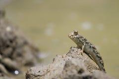 Mudskipper stand on mud Stock Image