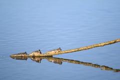 Mudskipper triplice Immagine Stock Libera da Diritti