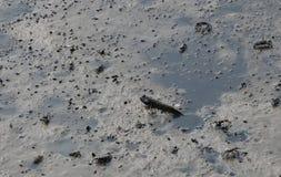 Mudskippers è pesce anfibio sul fango alla mangrovia fotografia stock libera da diritti