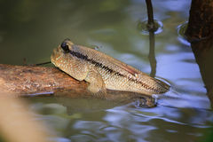 Mudskippers Royalty Free Stock Images