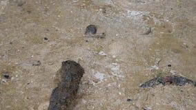 Mudskippers ou argentilineatus ou Minami Tobihaze barré de Periophthalmus dans des forêts de palétuvier le long de Fuki clips vidéos