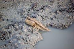 Mudspkipper, ψάρια στοκ φωτογραφία με δικαίωμα ελεύθερης χρήσης