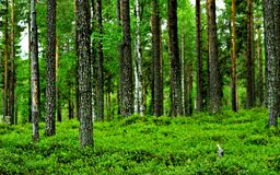 Mudus national park. Trees rising up from fresh green blackberries in mudus national park Stock Images