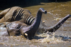 Mudwrestling young elephants 04. A couple of young elephants wrestling for fun in the water Stock Images