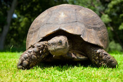 Mueca de la tortuga Fotografía de archivo