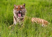 Mueca del tigre Foto de archivo
