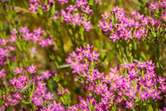 Muehlenberg`s centaury Zeltnera muehlenbergii wildflowers. Blooming on the Pacific Ocean coastline, California Stock Images