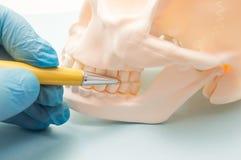 Muelas en parte superior y maxilar inferior en el modelo anatómico del cráneo humano El dentista muestra al paciente de los dient Fotos de archivo