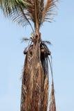 Muere el árbol de coco Foto de archivo