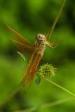 Muerte de la libélula Imagenes de archivo