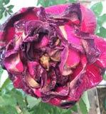 Muerte de la rosa del rosa foto de archivo