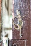 Muerte del lagarto Fotografía de archivo libre de regalías