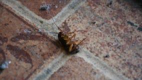 Muerte que espera de la mentira pequeña y joven de la cucaracha para en piso en casa porque insecticida del espray almacen de metraje de vídeo