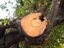 Muesca del árbol enorme viejo de la rama Foto de archivo