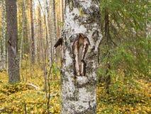 Muesca en el tronco del abedul del árbol Imagenes de archivo