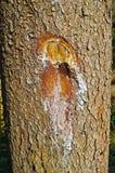 Muesca en un árbol con un hacha Foto de archivo libre de regalías