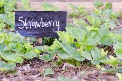 Muestra de la fresa delante de las plantas en el remiendo vegetal Imagen de archivo