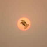 Muestra de la libertad con el vuelo del pájaro a través del sol Fotos de archivo