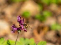 Muestras de la primavera: una flor del corydalis del beeon en Francfort, Alemania imágenes de archivo libres de regalías