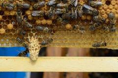 Muestras de las abejas del rugido El nacimiento de una nueva reina de abejas Fotografía de archivo libre de regalías