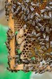 Muestras de las abejas del rugido El nacimiento de una nueva reina de abejas Fotos de archivo