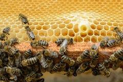 Muestras de las abejas del rugido El nacimiento de una nueva reina de abejas Imágenes de archivo libres de regalías