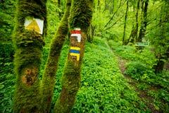 Muestras turísticas en el tronco del árbol viejo en bosque salvaje enorme con la trayectoria estrecha en el fondo Imagenes de archivo