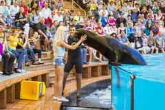 Muestre con los delfínes en la piscina, parque de Loro, Tenerife Imágenes de archivo libres de regalías
