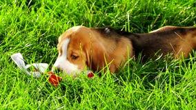 Muestre el beagle en jugar verde natural del fondo almacen de video