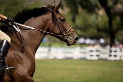 Muestre el caballo Fotografía de archivo libre de regalías