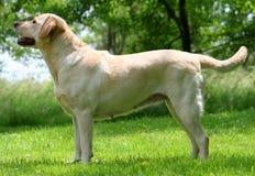 Muestre el perro imagen de archivo libre de regalías