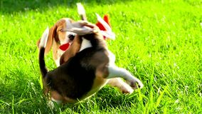 Muestre el perro de la raza del beagle en un verde natural almacen de metraje de vídeo