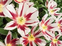 Muestre el tulipán en primer Fotografía de archivo