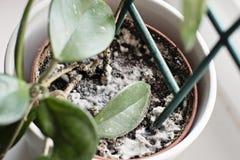 Muffa che cresce su un suolo nel vaso di fiore con la pianta della casa Giovane pianta di Hoya in umido fotografia stock libera da diritti