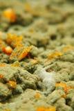 Muffa verde, foto del primo piano Immagine Stock Libera da Diritti